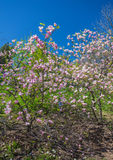 Magnolia blooms in spring Royalty Free Stock Photos