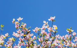 Magnolia blooms in spring Royalty Free Stock Photography