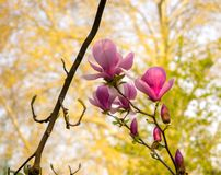 Magnolia blooms in the spring stock photo