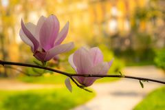 Magnolia blooms in the spring stock images