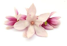 Magnolia blooms. On white background stock images