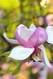 Magnolia blossom. Close up of the big magnolia blossom Stock Photography