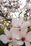 Magnolia blossom Stock Photography