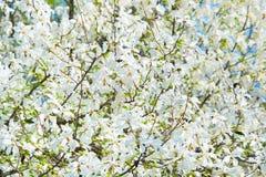 Magnolia blossom background Royalty Free Stock Photo