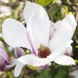 Magnolia blossom Stock Photos