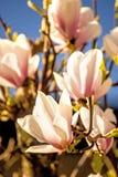 Magnolia blossom with blue sky Stock Images