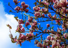 Magnolia blossom on blue sky Stock Photos