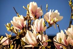 Magnolia blossom with blue sky Stock Photos