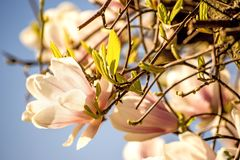 Magnolia blossom with blue sky Royalty Free Stock Images