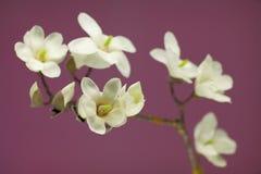 Magnolia blossom on a branch Stock Photo