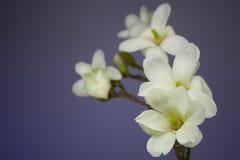 Magnolia blossom on a branch Stock Photos