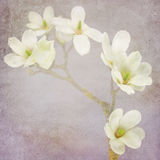 Magnolia blossom on a branch. Shabby chic paper background Royalty Free Stock Photography