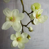 Magnolia blossom on a branch Stock Images