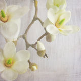Magnolia blossom on a branch. Shabby chic paper background Royalty Free Stock Images