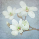 Magnolia blossom on a branch. Shabby chic paper background Stock Photos