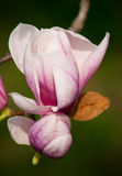 Magnolia blossom Close-up Stock Photo