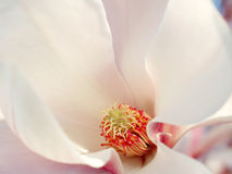 Magnolia Blossom Royalty Free Stock Photos