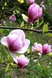 Magnolia blossom. Stock Photography