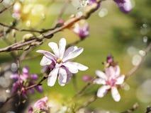 Magnolia blossom. Flowers background. Royalty Free Stock Photo