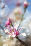Magnolia blossom. Flowers background. Royalty Free Stock Images