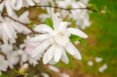 Magnolia blossom in the garden after the rain Royalty Free Stock Photos