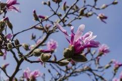 Magnolia in blossom Stock Photo