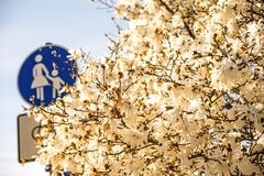 Magnolia blossom with German pedestrian street sign Stock Image