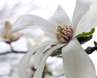 Magnolia blossom Royalty Free Stock Photo