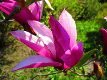 Magnolia in blossom, Kamenets Podolskiy, Ukraine Royalty Free Stock Photo