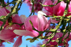 Magnolia Blossom. Macro view of magnolia blossoms on mossy magnolia tree branches Royalty Free Stock Photos