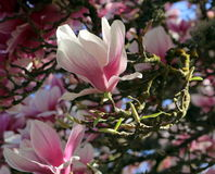 Magnolia Blossom. Macro view of magnolia blossoms on magnolia tree Royalty Free Stock Image