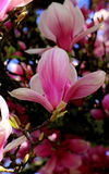 Magnolia Blossom. Macro view of magnolia blossoms on tree branch Royalty Free Stock Photos