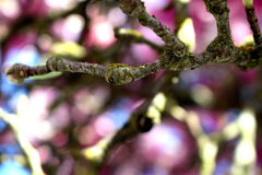 Magnolia Blossom. Macro view of magnolia tree branch Stock Images