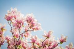 Magnolia Blossom Magnolia Blossom Against Blue Sky Stock Photo