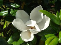 Magnolia Blossom. A Magnolia Blossom. This one was on the lawn of the Old Courthouse Museum in Vicksburg, Mississippi, USA Stock Photography