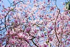 Magnolia blossom Royalty Free Stock Photo