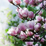 Magnolia blossom Stock Images