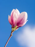 Magnolia Blossom Royalty Free Stock Photography