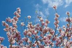 Magnolia blossom. Pink white magnolia blossom over blue sky. Horizontal Stock Photo