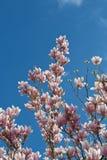 Magnolia blossom. Pink white magnolia blossom over blue sky. Vertical Stock Photos