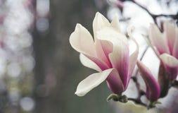 Magnolia Blossom with Rain Drops Royalty Free Stock Photo