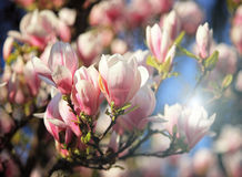 Magnolia blossom in spring Stock Photography
