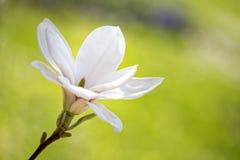 Magnolia blossom in spring Stock Photos