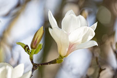 Magnolia blossom in spring Royalty Free Stock Photo