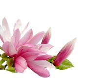 Magnolia blossom. A spring magnolia blossom isolated white Royalty Free Stock Photography