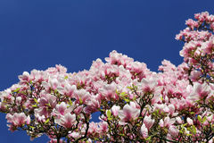 Magnolia blossom in the spring Stock Image