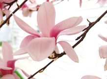 Magnolia Blossom in spring Royalty Free Stock Photos