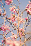 Magnolia Royalty Free Stock Photography