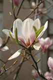Magnolia blossom in spring time Royalty Free Stock Photo
