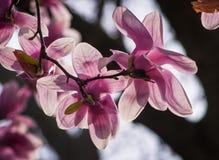Magnolia Blossom Tree Stock Photography
